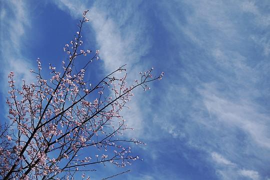 090312桜1.jpg